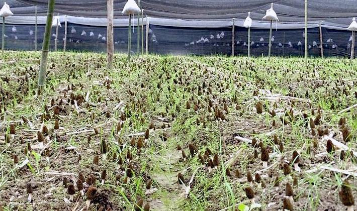 Технология выращивания сморчков