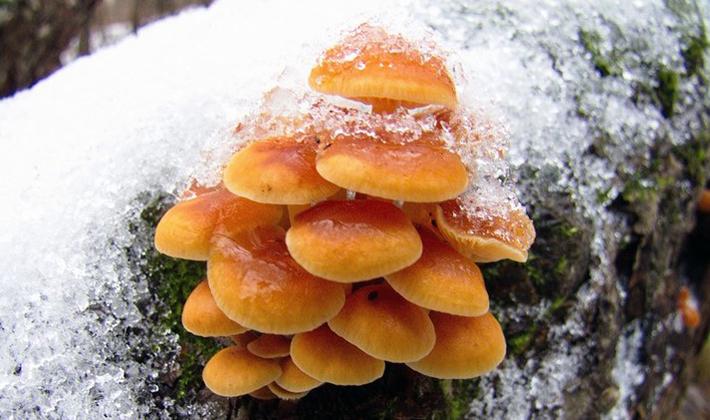 Выращивание зимних опят интенсивным методом