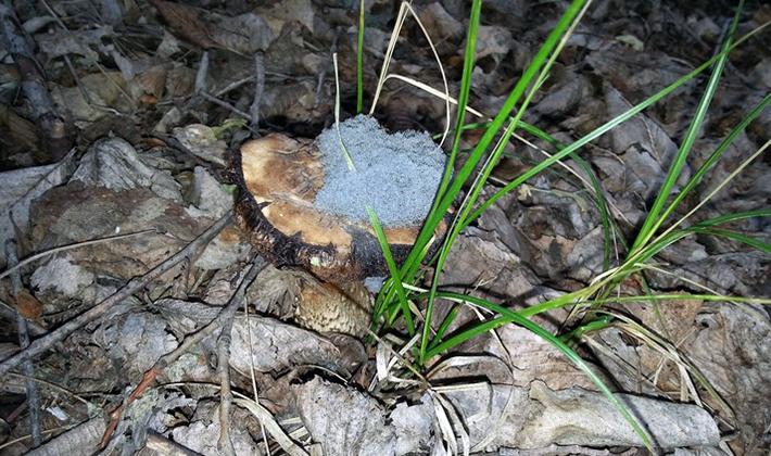 Виды плесени при выращивании грибов