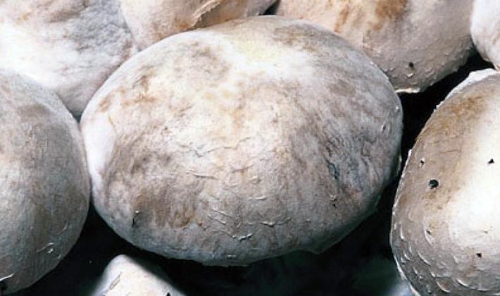 Болезни и вредители грибов: описание и способы борьбы