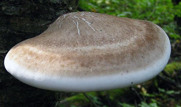 Грибы трутовики: описание видов и целебные свойства