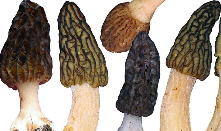 Особенности сморчков разных видов