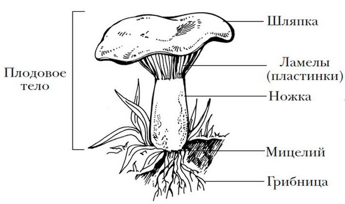 Строение, развитие и питание грибов: основные особенности
