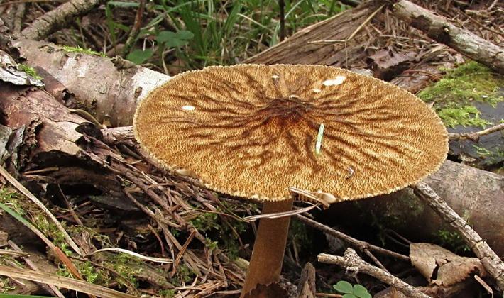 Описание грибов с морщинистыми шляпками