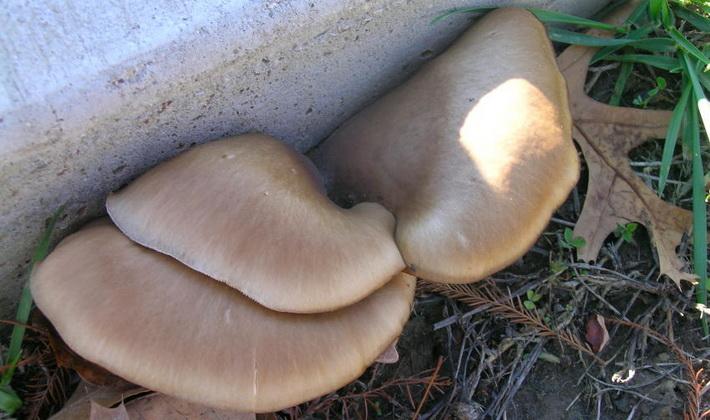 Шляпочные грибы со смещенной или отсутствующей ножкой