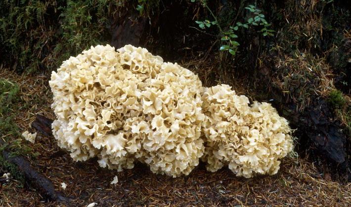 Коралловидные грибы: описание видов