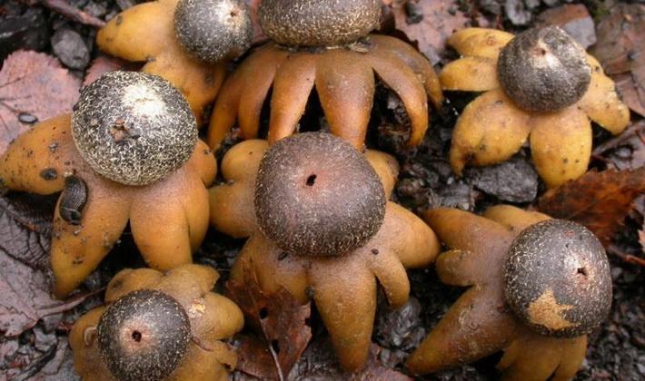 Грибы с плодовыми телами необычной формы