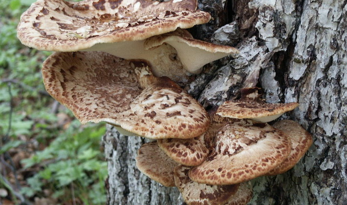 Трубчатые грибы: съедобные и несъедобные виды