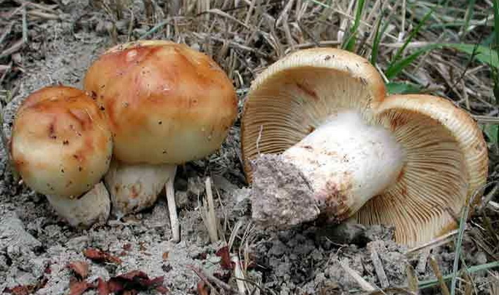 Лесные грибы на тонких ножках