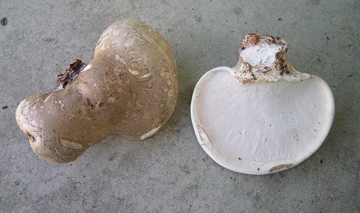Грибы с пористым плодовым телом