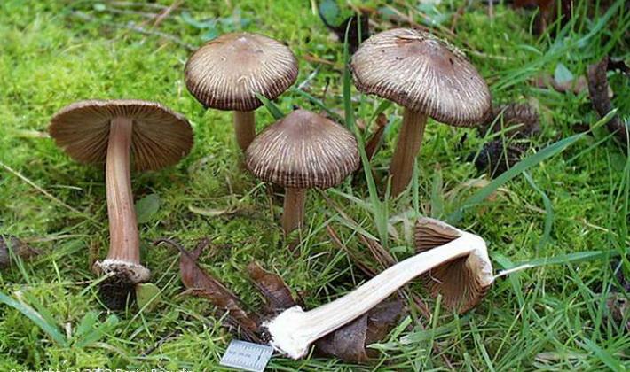 Характеристика пластинчатых грибов различных видов