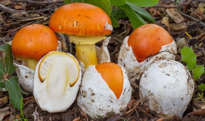 Грибы с яйцевидным плодовым телом